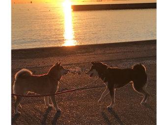 柴犬,夕日