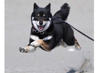 柴犬,飛行犬