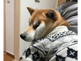 柴犬,ブサカワ