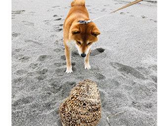 柴犬,未知との遭遇