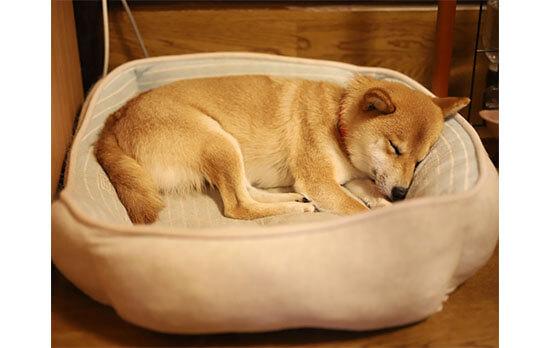 柴犬,寝顔