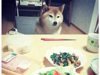 柴犬,食欲
