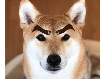 柴犬,なりきり