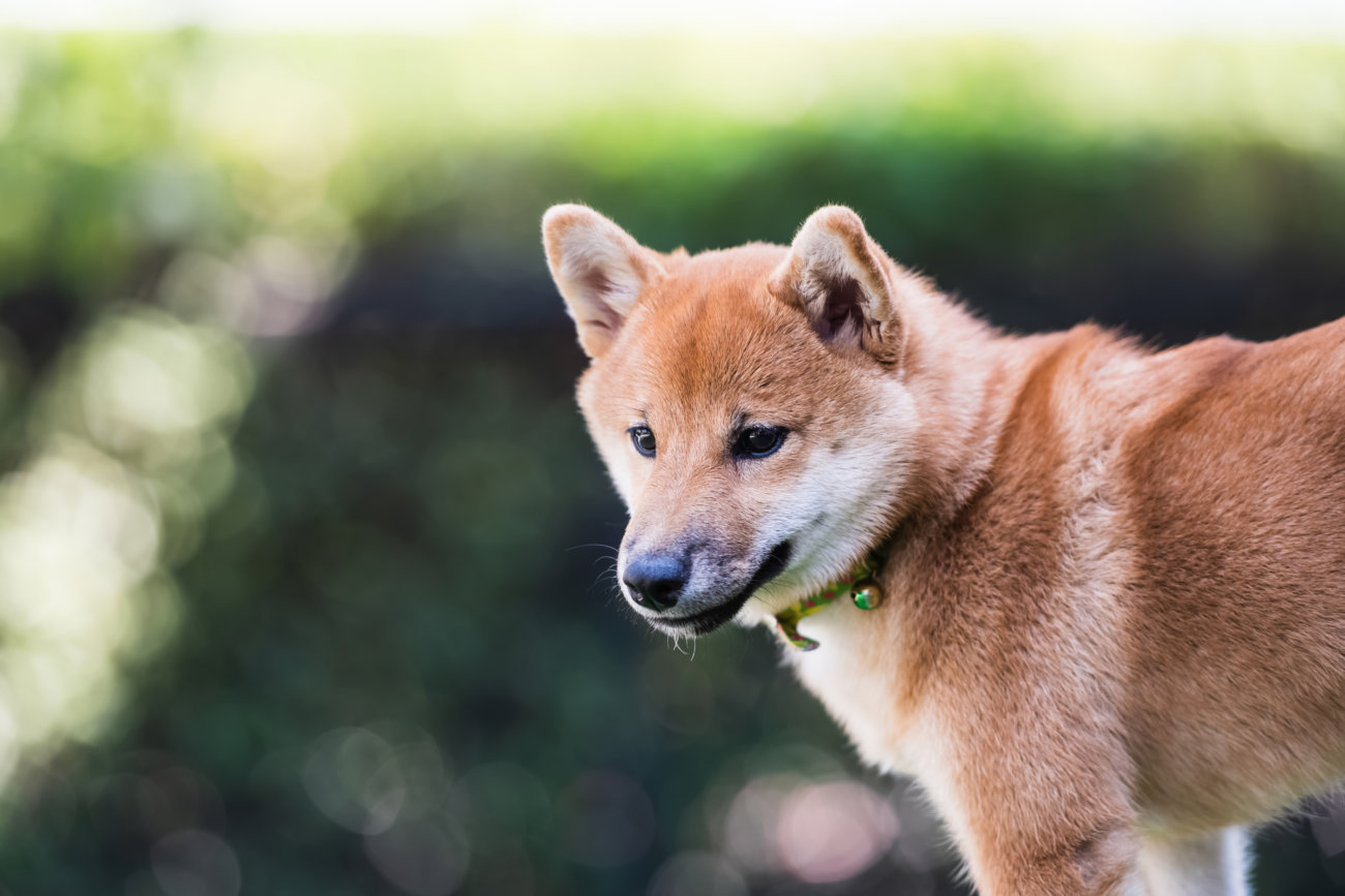 柴犬,ペットオーナー検定