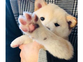 柴犬,アフレコ