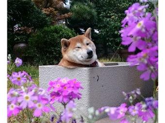 柴犬,SNS映え