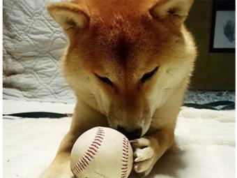 柴犬,野球