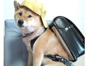 柴犬,学生
