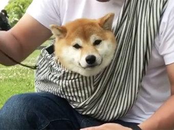 柴犬,ドッグスリング