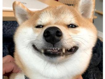 柴犬,表情