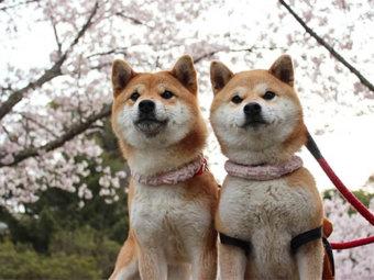 柴犬,お花見