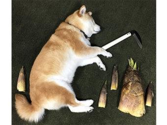 柴犬,タケノコ