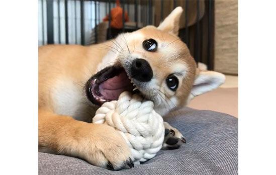 柴犬,カジカジ