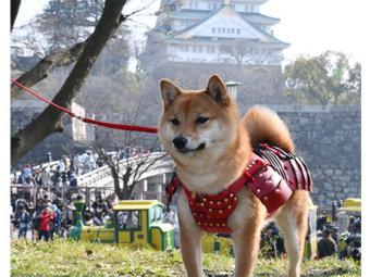 柴犬,サムライ