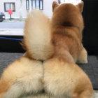 柴犬,しっぽ