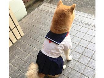 柴犬,女子高生風