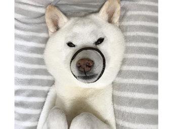 柴犬,すっぽり