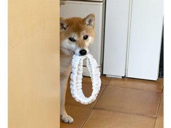 柴犬,見つめる
