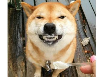 柴犬,ヨーグルト