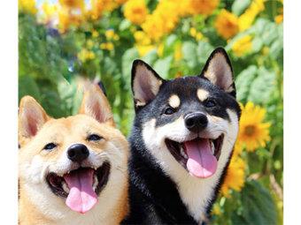 柴犬,お花