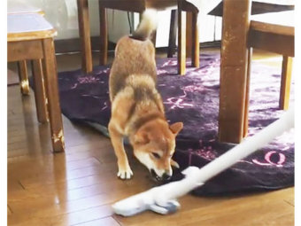 柴犬,天敵