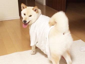 柴犬,Tシャツ