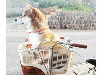 柴犬,自転車