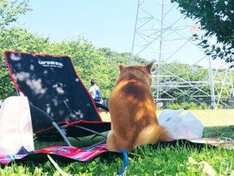 柴犬,ピクニック