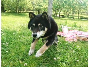 柴犬,ジャンプ