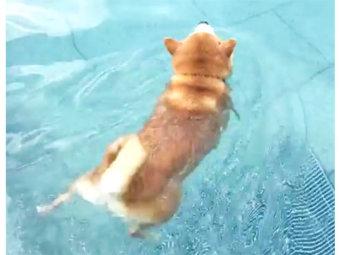 柴犬,スイミング