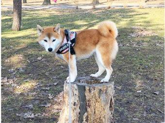 柴犬,ちょうどいいサイズ