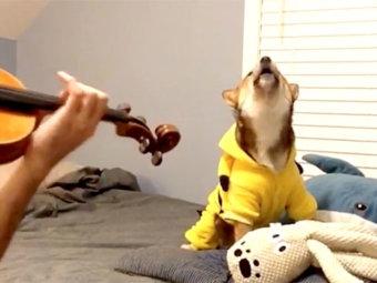 柴犬,楽器