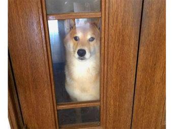 柴犬,おねだり