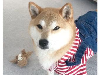 柴犬,洋服嫌い