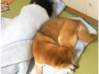 柴犬,添い寝
