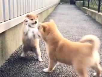 柴犬,じゃれあい