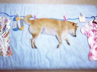 柴犬,洗濯