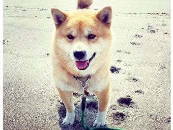 柴犬,ソックス