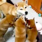 柴犬,子育てママ