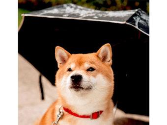 柴犬,レイングッズ