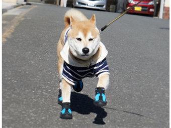 柴犬,犬の靴