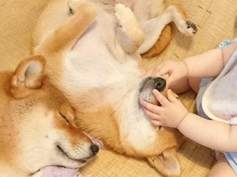 柴犬,子供
