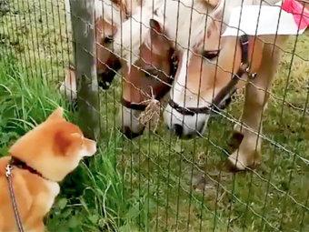 柴犬,生き物