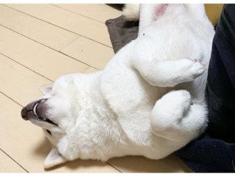 柴犬,睡魔