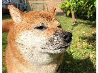 柴犬,水遊び