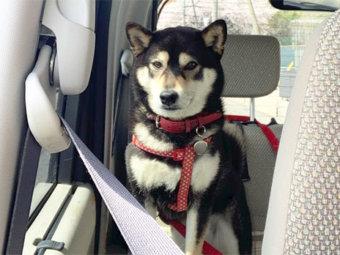 柴犬,ドライブ