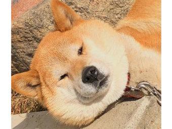 柴犬,ふてぶてしい
