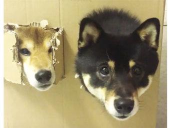 柴犬,遊び