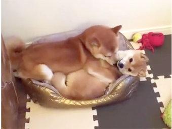 柴犬,スヤスヤ