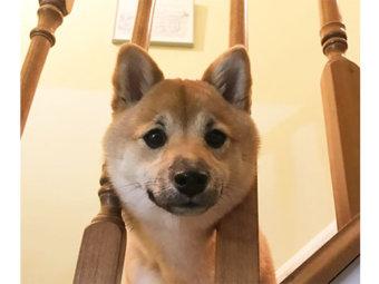 柴犬,小顔